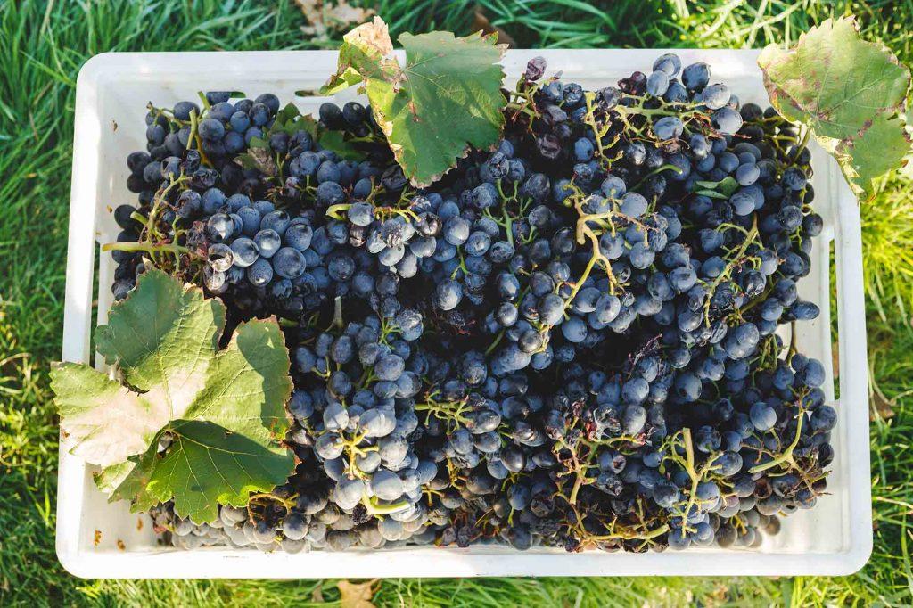 Come si produce il vino